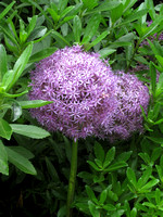 HG1- Allium Flowers Or Purple Pom Poms