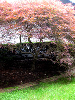 HG4- Heritage Gardens Japanese Maple