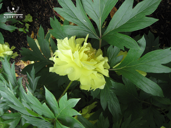 HG6- Heritage Museum and Gardens Yellow Peony