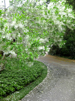 HG2- Heritage Gardens Drive and Fringe Tree With White Flowers Blossoms
