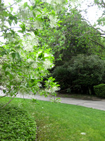 HG2- Heritage Gardens Drive and Fringe Tree With White Flowers Blossoms No. 2