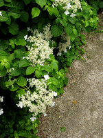 HG1- A Type of White Hydrangea?