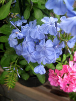 IBP- Imperial Blue Plumbago To Die For