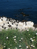 LJ3- Black Cormorants, Daisies and White Rocks On La Jolla Coast